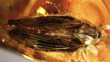 Baltic planthopper 10mm