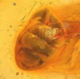 Baltic snail