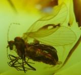 Baltic amber mothfly egg 3.jpg