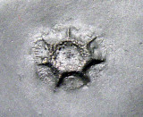 Coral Pleurodictyum
