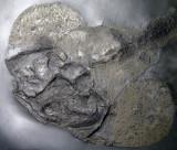 Gemuendina stuertzi, a 21 cm rhenanid placoderm from Bundenbach.