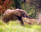 Forest elephant Yenzi, Gabon