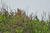 California ground squirrel, Carpinteria