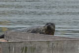 Harbor seal, Santa Barbara
