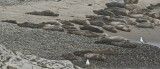 Harbor seals on Carpinteria beach