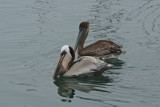 Brown pelicans, Santa Barbara
