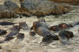 Tanzania Hippos