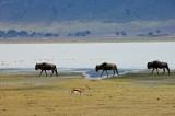 Tanzania Wildebeest