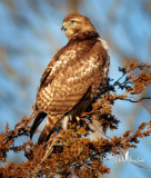 A young Red Tail Hawk