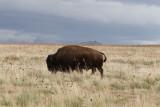 Bison, Antelope Island, UT