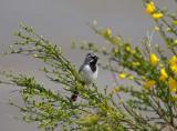 Black-throated Sparrow, Pierce Co, WA