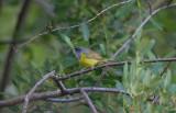 MacGuillivray's Warbler