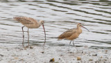 Long-billed Curlew (Adult, Juv)