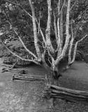 CADES COVE - TANGLED TREE