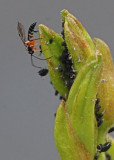 BEE ATTACKING APHID  -  TAKEN WITH A MANUAL FOCUS TAMRON SP 90mm f/2.5 MACRO LENS
