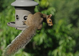 TRAPPED SQUIRREL  -  TAKEN WITH A SONY 18-200mm E-MOUNT LENS