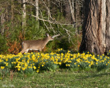 Doe on a Morning in Spring