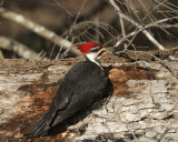 Peleated Woodpecker on Log