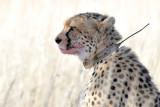 Cheetah I.jpg