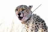 Cheetah II.jpg