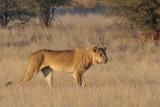 Lion staring.jpg