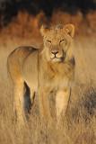 Lion Staring II P.jpg