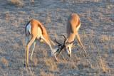 Springbok jousting.jpg