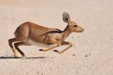 Steenbokkie I.jpg