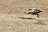 Vulture takeoff.jpg