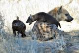 Hyena go away I.jpg
