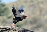 Bateleur Take Off.jpg