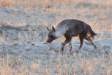 Brown hyena 1200.jpg