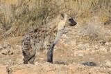 Spotted Hyena.jpg
