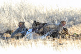 Cheetah Cubs 1200.jpg