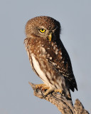 Pearl Spotted Owlet.jpg