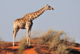Giraffe on Dune.jpg