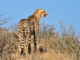 Cheetah on Hill.jpg