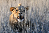 Lion Growling.jpg