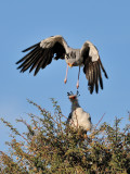 Secretary Birds II.jpg