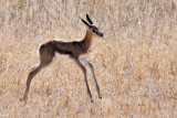 Young Springbok.jpg