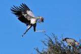 Decretary Birds Nesting I.jpg
