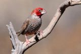 Red Headed Finch.jpg