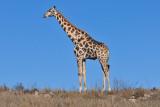 Giraffe I.jpg