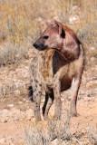 Hyena I.jpg