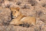 Lion A 1200.jpg