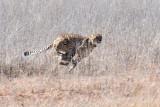 Cheetah B 1200.jpg
