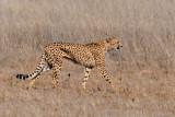 Cheetah A 1200.jpg