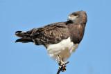 Snake Eagle I.jpg