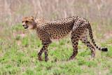 MataMata Cheetah.jpg