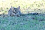 Wildcat 2.jpg